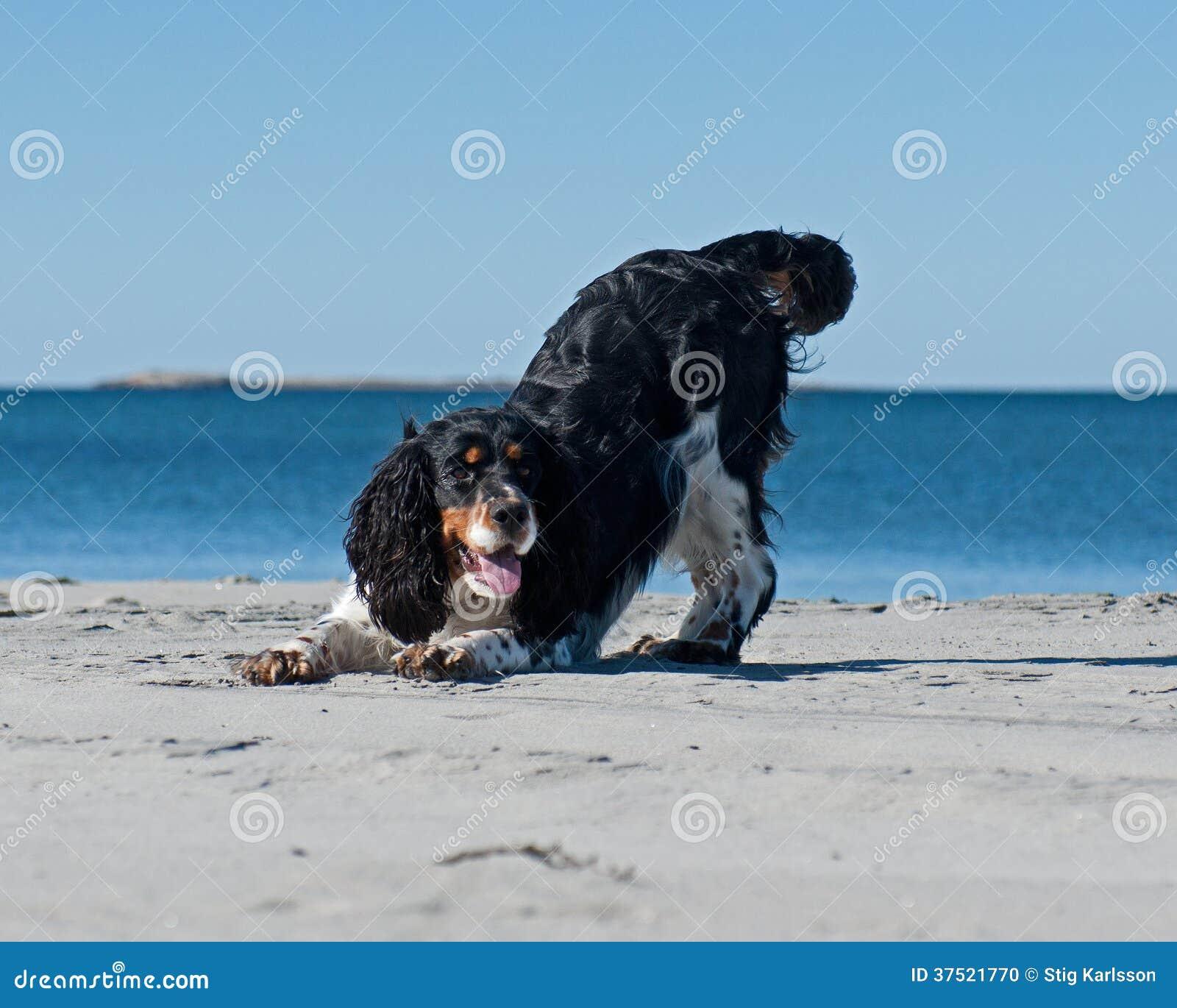 Cocker spaniel, das auf einem Strand spielt