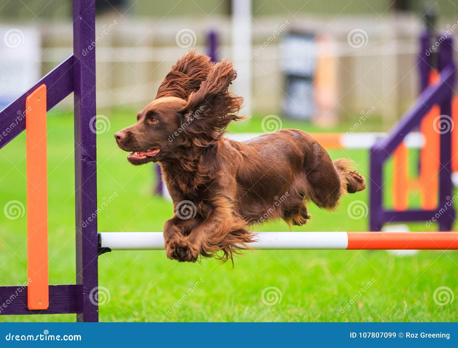 Cocker Spaniel Dog Agility Jumping