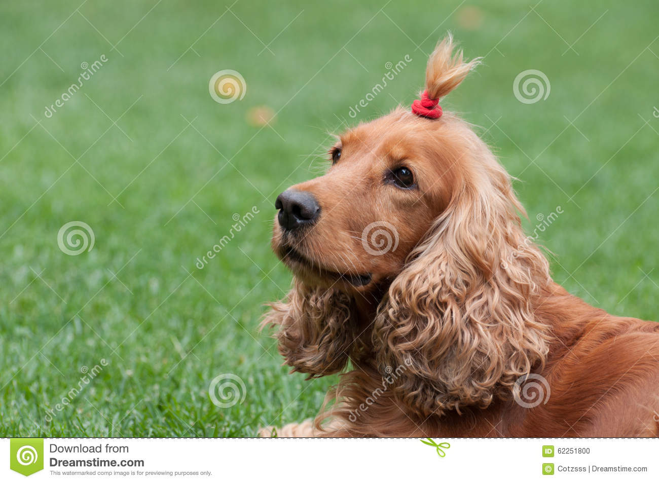Cocker Spaniel With Funny Haircut Horizontal View Stock Photo Image Of Funny Help 62251800