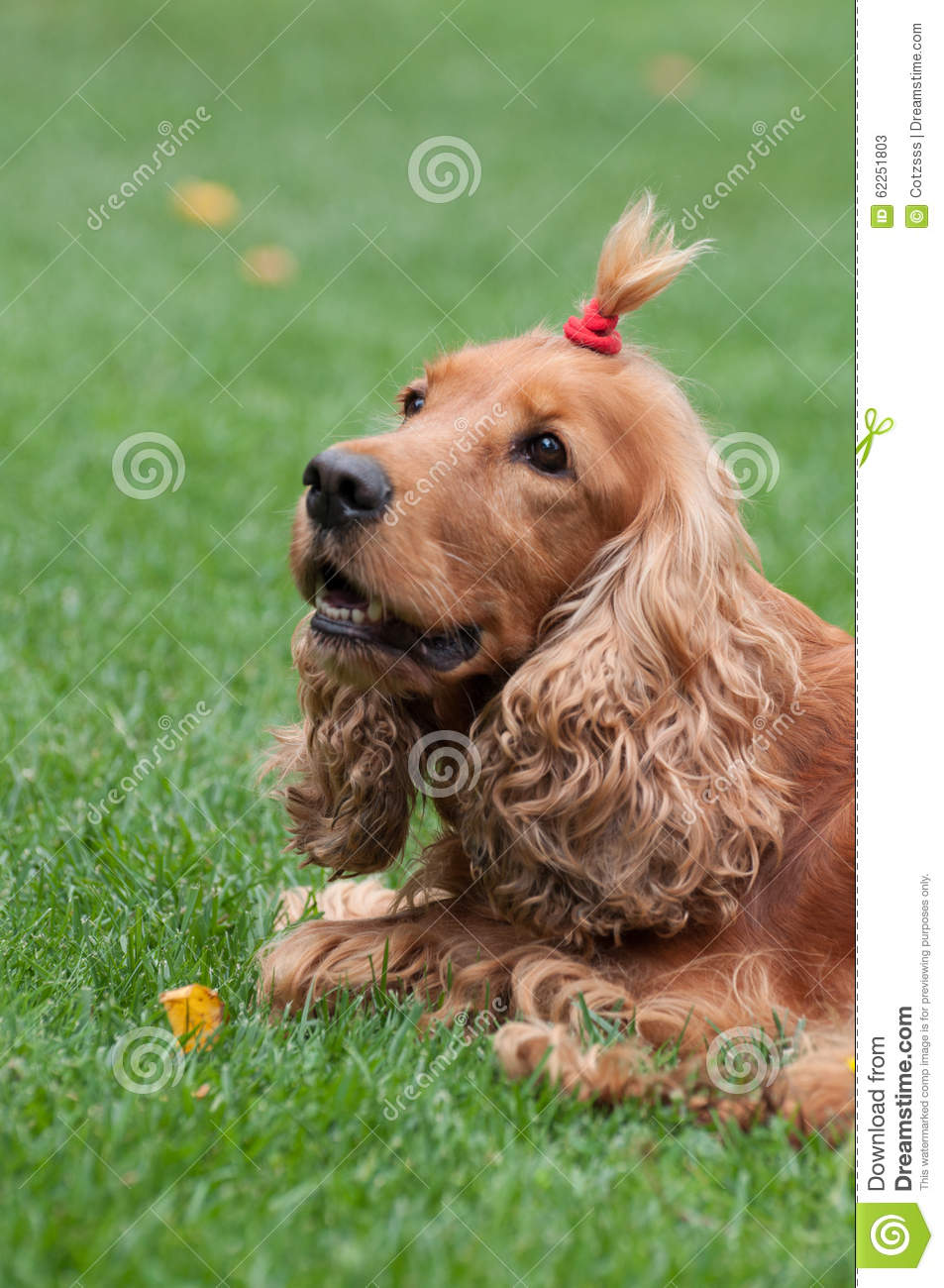 Cocker Spaniel With Funny Haircut Vertical View Stock Image Image Of Doggy Domestic 62251803