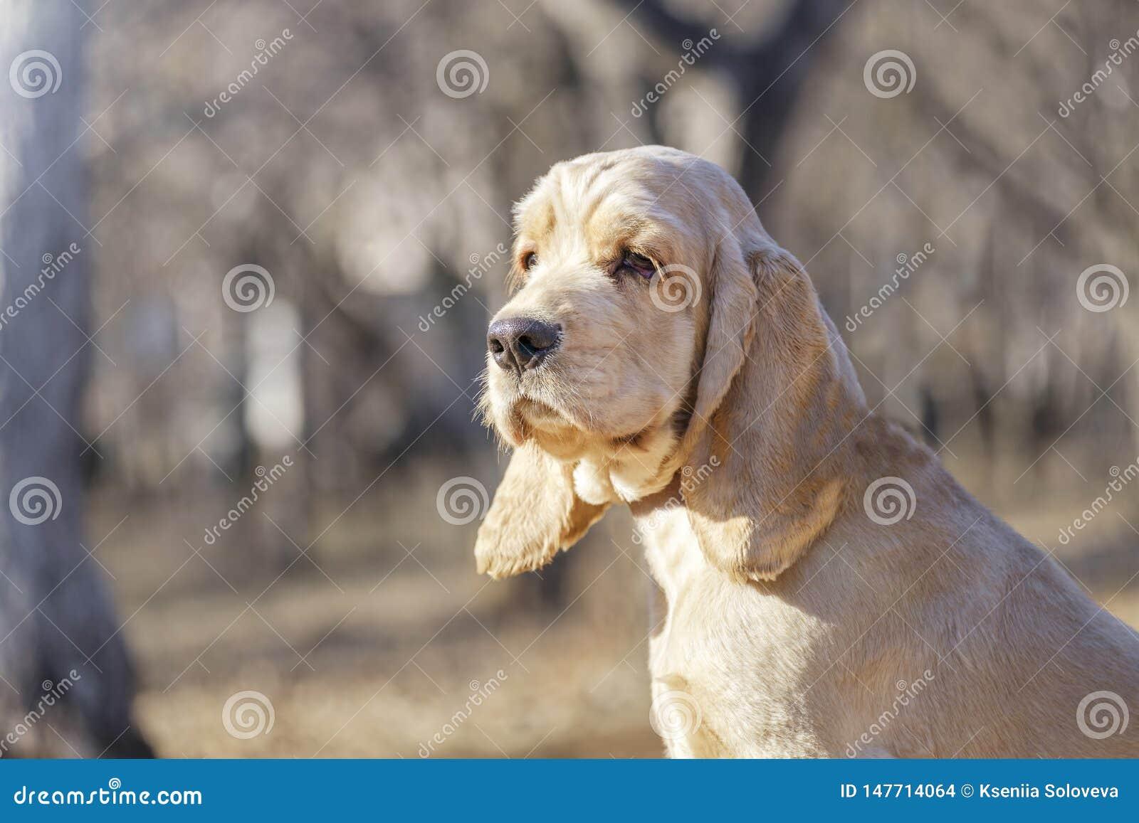 Cocker Spaniel-Hunderasseporträt