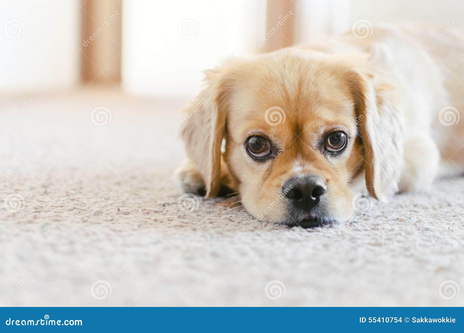 Cocker Spaniel Pekingese Cross Breed Cute Puppy Eyes Stock