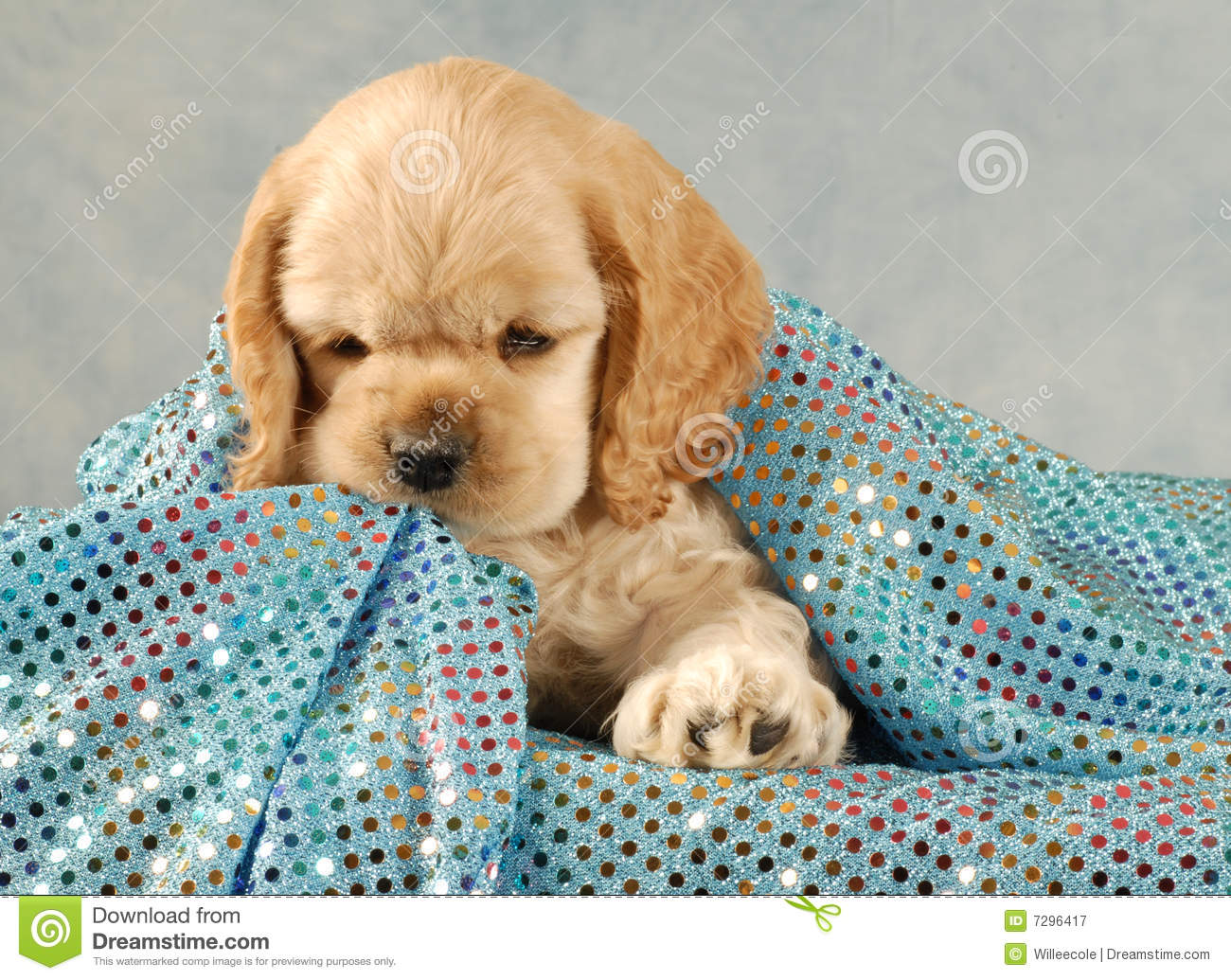 Cocker Spaniel Puppy Stock Image Image Of Growth Blonde 7296417
