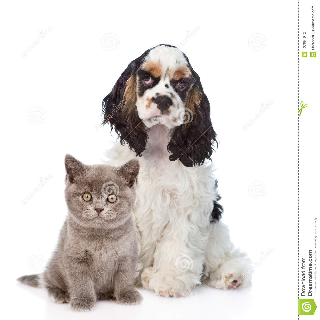 Cocker Spaniel Puppy With Baby Kitten Focus On Cat Isolated Stock Photo Image Of Animal Care 107651912