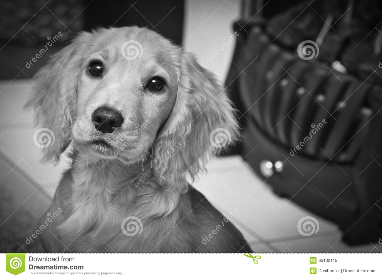 Cocker Spaniel Puppy By The Fire Keeping Warm Stock Image Image