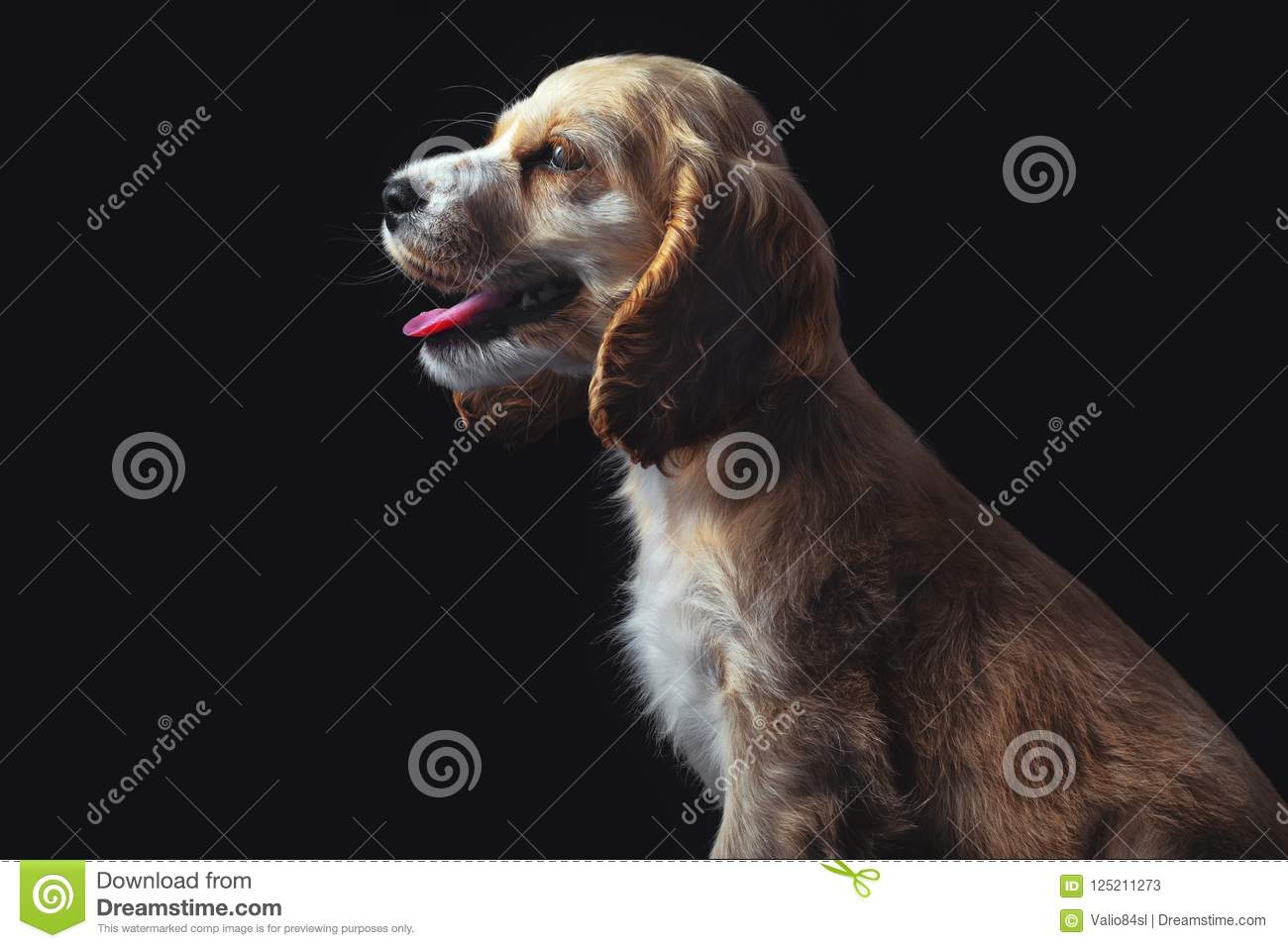 Cocker Spaniel Puppy Isolated On Black Little Baby Dog Stock Image Image Of Adorable Friend 125211273