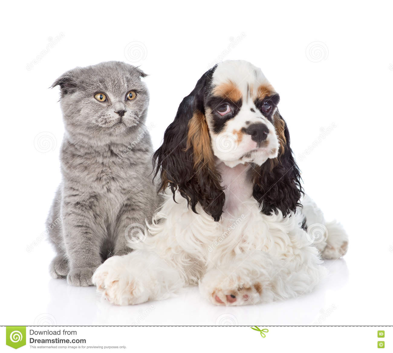 Cocker Spaniel Puppy Lying With Young Kitten Isolated On White Stock Photo Image Of Gazing Baby 71479730