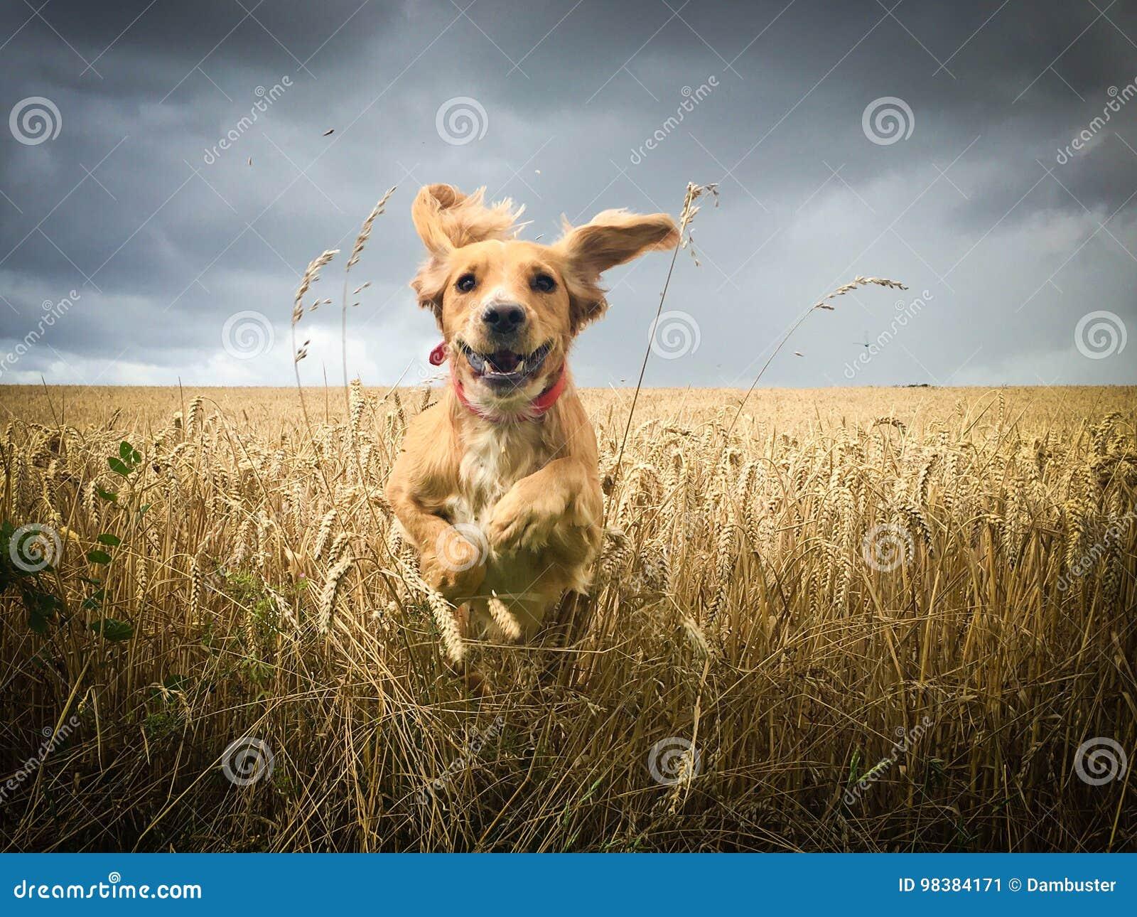 Cocker spaniel que corre no campo