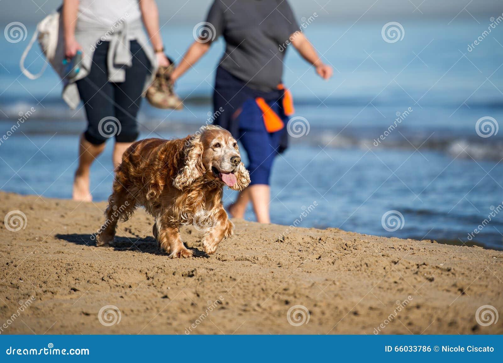 Cocker spaniel viejo en la playa
