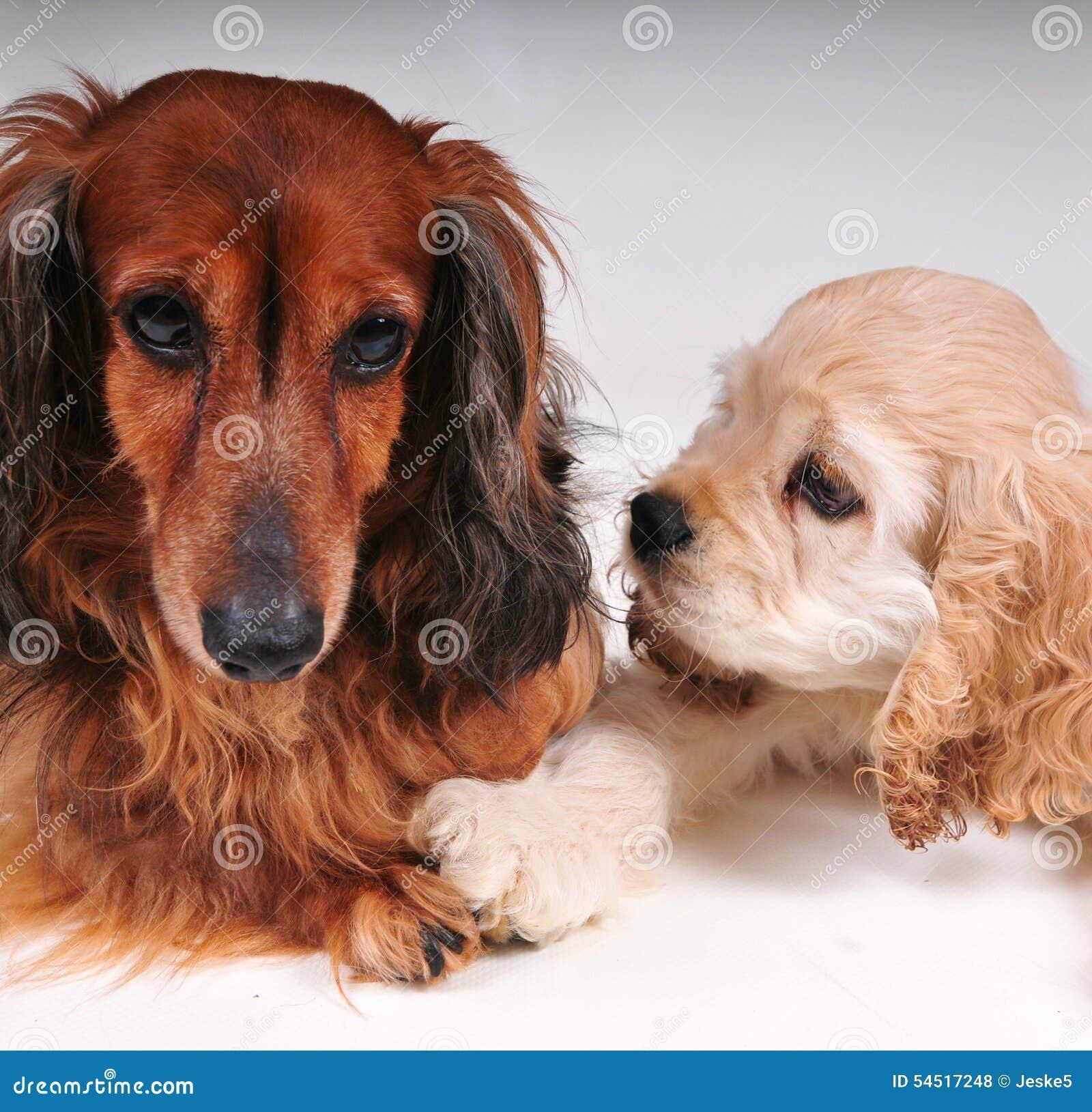 Cocker spaniel y perro basset largo del pelo
