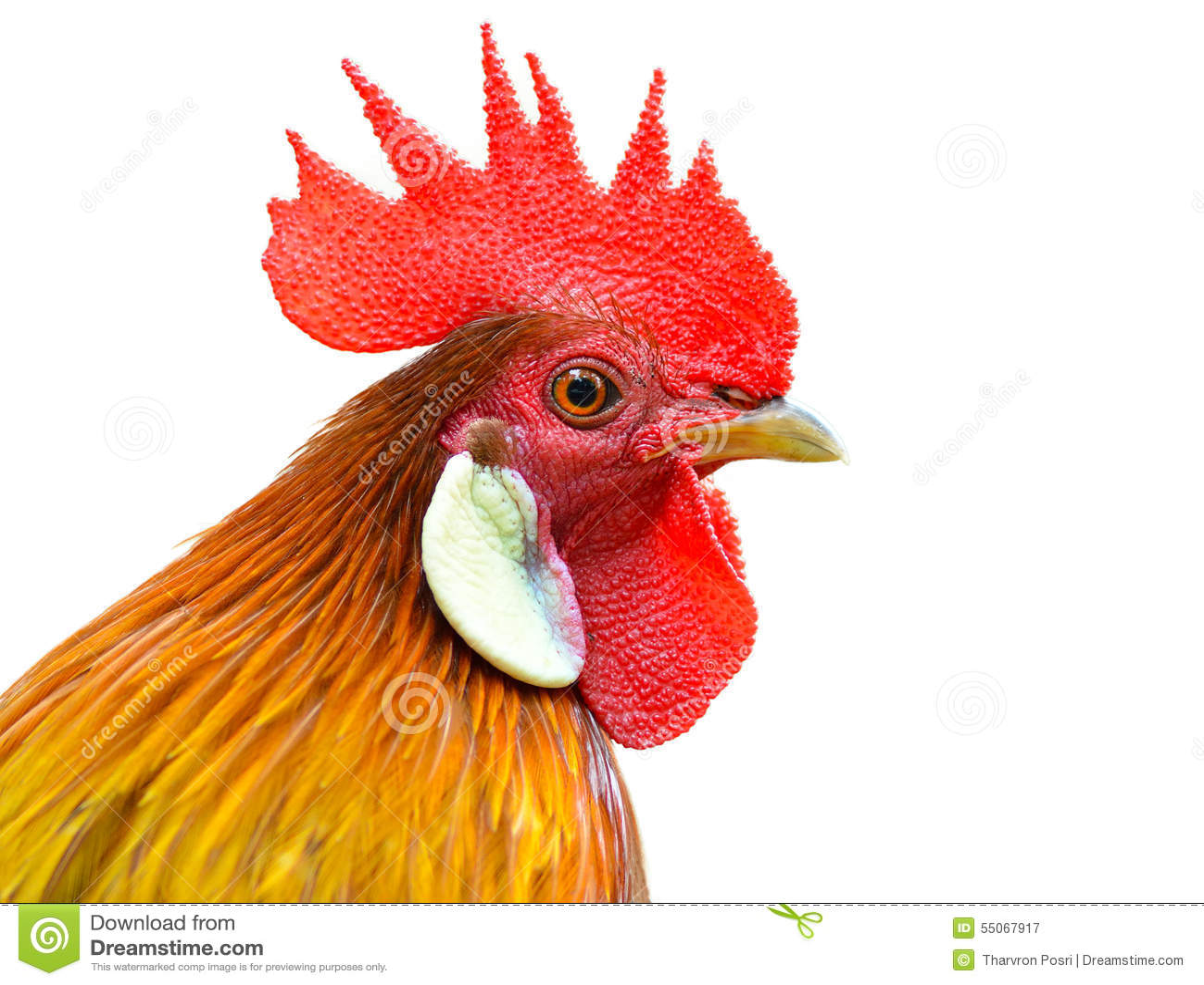Cockerel (κόκκορας) που απομονώνεται στο άσπρο υπόβαθρο