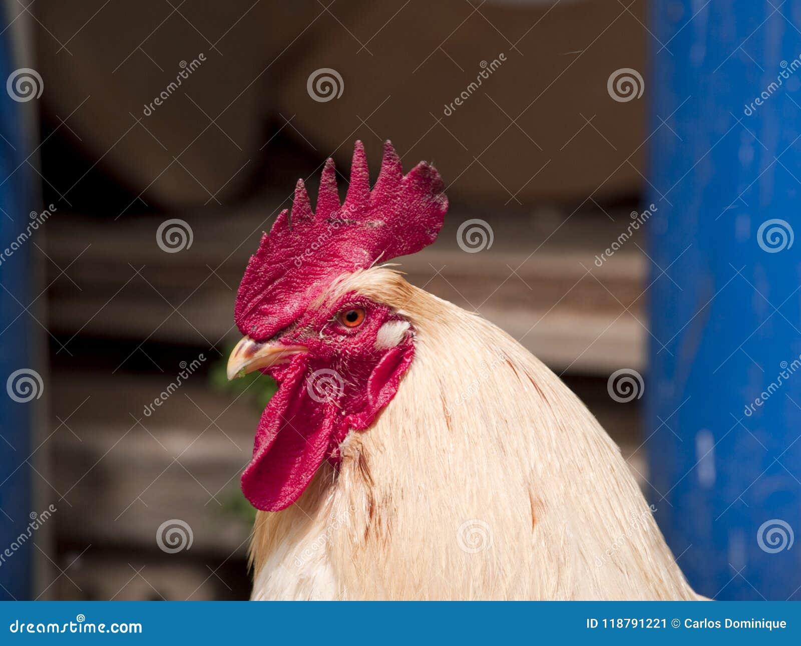 Cockerel στο αγροτικό περπάτημα στην ηρεμία
