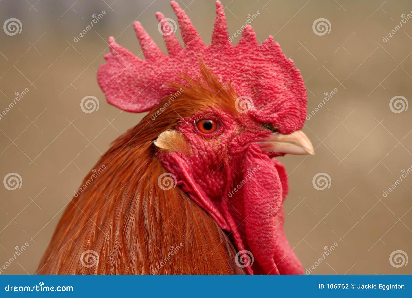 Cockerel head