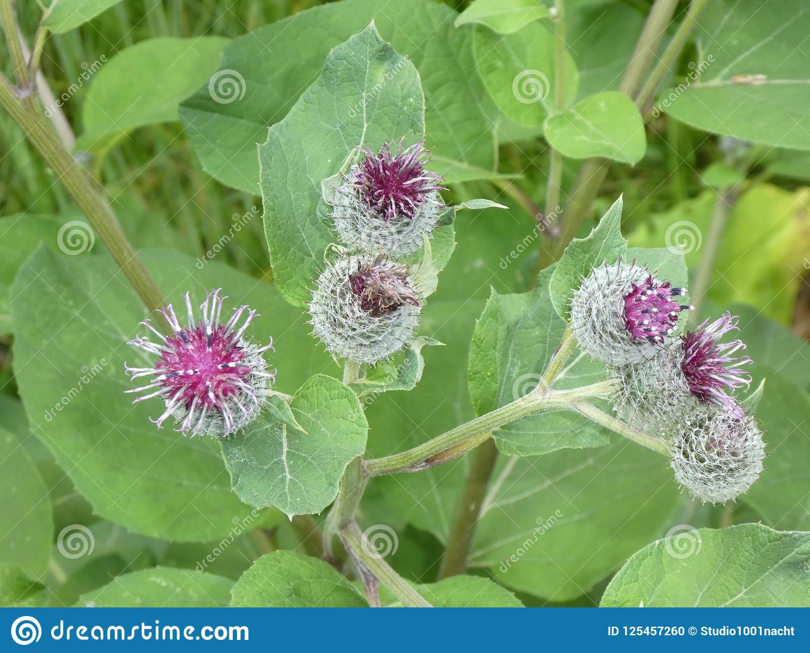 Cocklebur Flower With Big Leaves And Purple Blossom In The