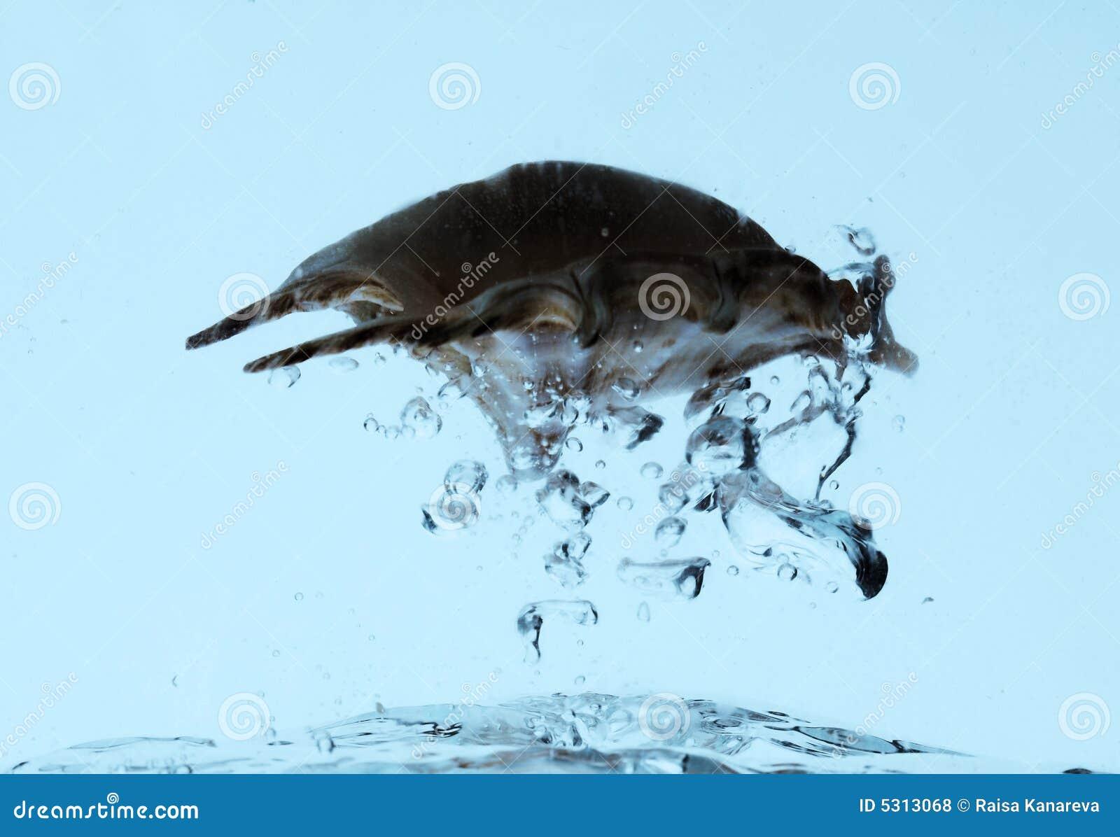 Download Cockleshel Del Mare In Acqua Fotografia Stock - Immagine di divertimento, armatura: 5313068