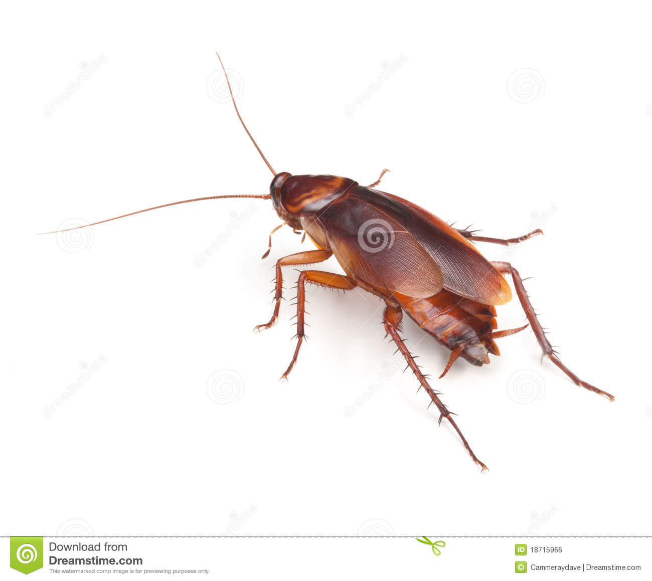 Cockroach Insect Roach Pest Control Royalty Free Stock