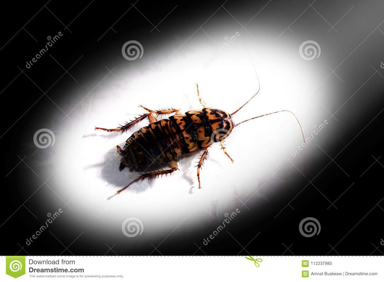 Cockroach, Cockroaches, Roach In The Light On Dark Black Shadow ...