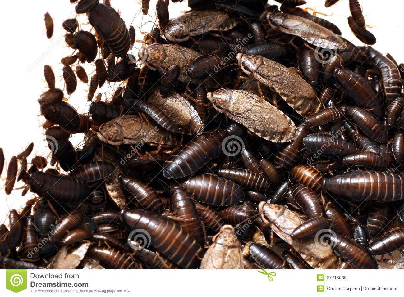 Cockroach Infestation Stock Image Image Of Insect