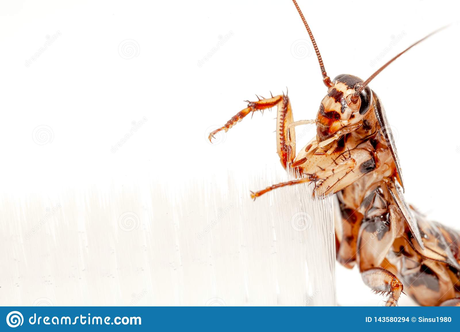 Cockroaches are in the toothbrush on white background