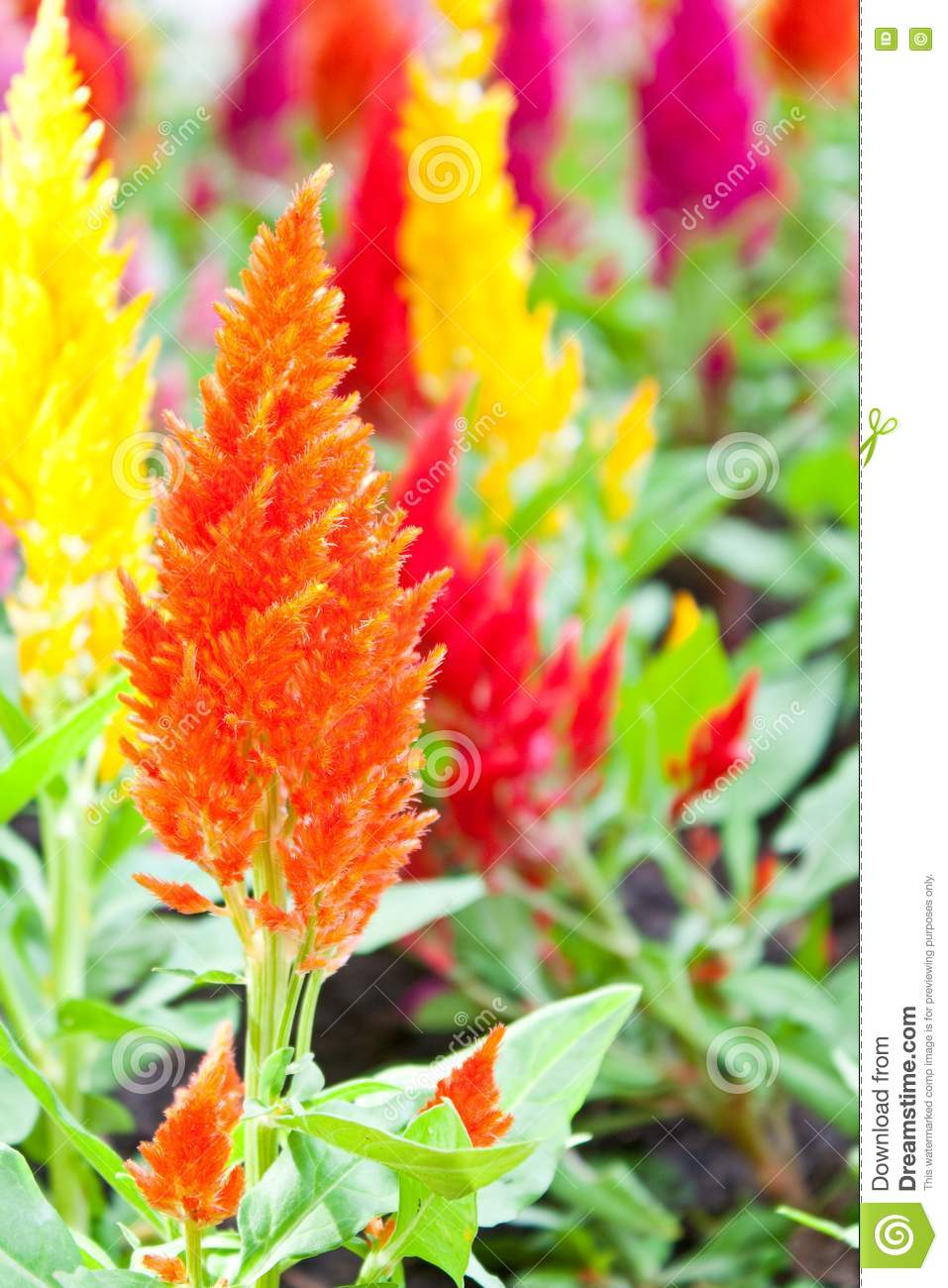 Cockscomb Flower Stock Images - Image: 17774394