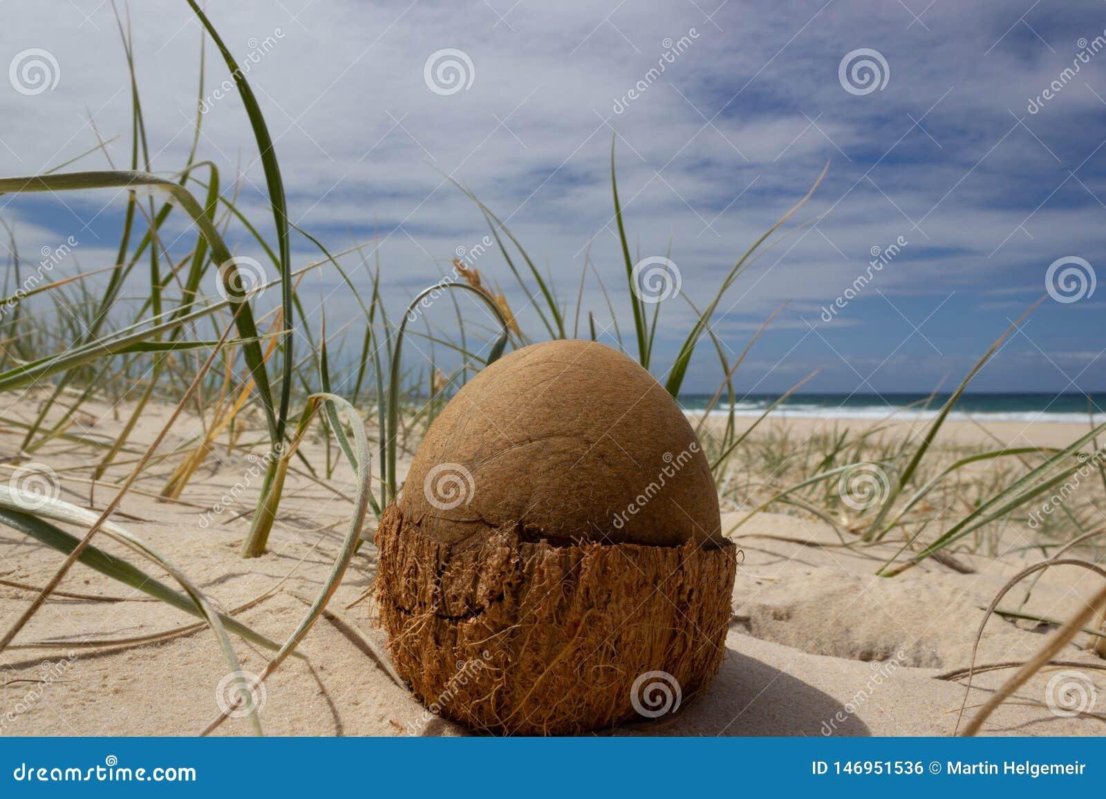 Coco abierto en la playa en la playa del arco iris, Queensland, Australia El coco parece un huevo de dinosaurio