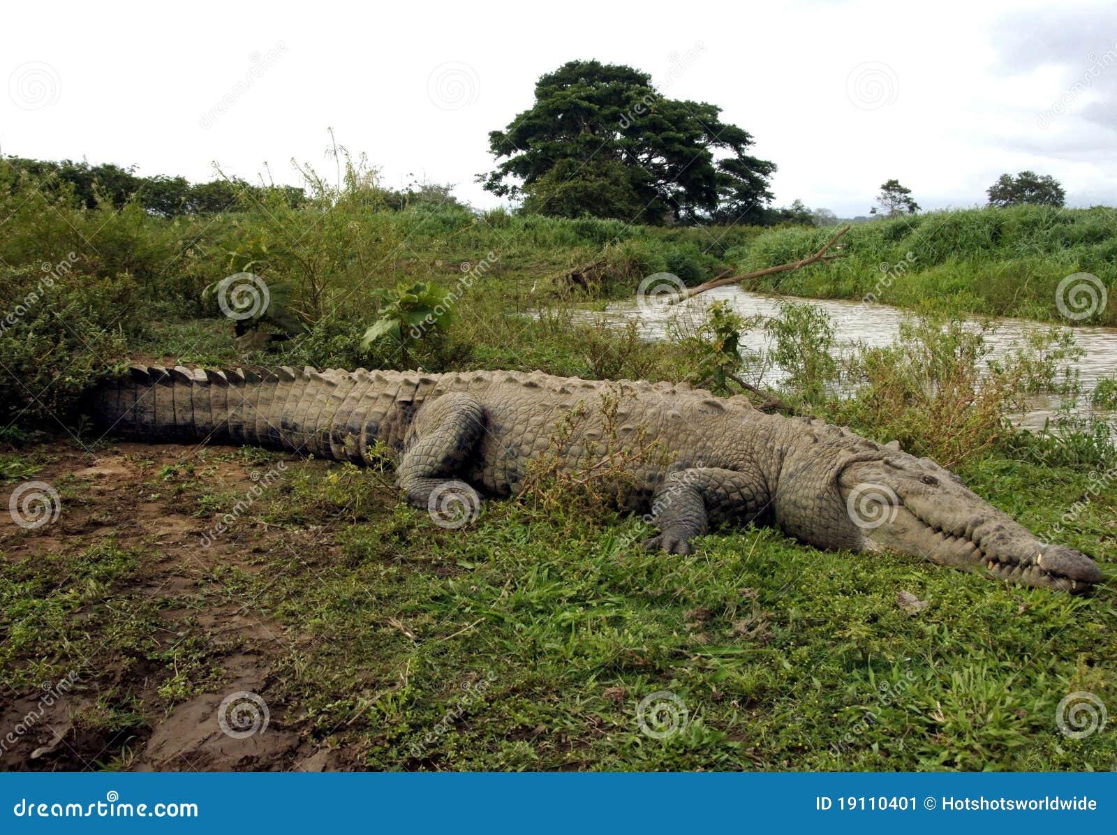 Cocodrilo americano enorme, tarcoles río, Costa Rica