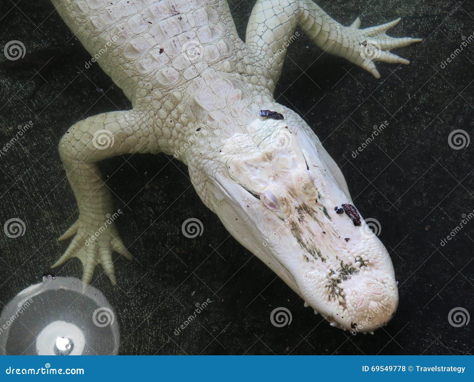 Cocodrilo blanco del albino