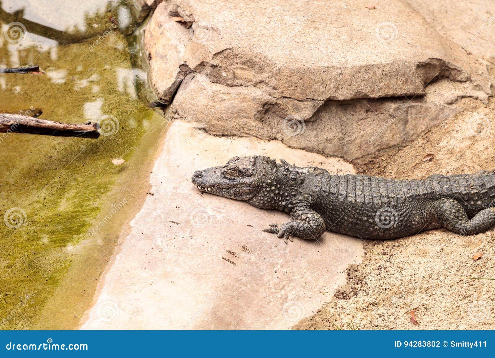 Cocodrilo chino conocido científico como sinensis del cocodrilo