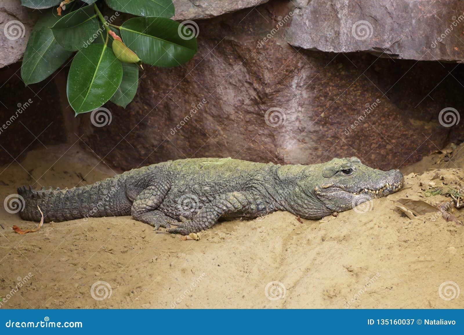 Cocodrilo chino, sinensis Fauvel del cocodrilo