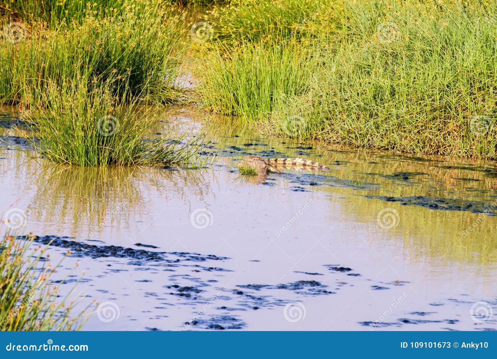 Cocodrilo del Nilo (niloticus del Crocodylus)