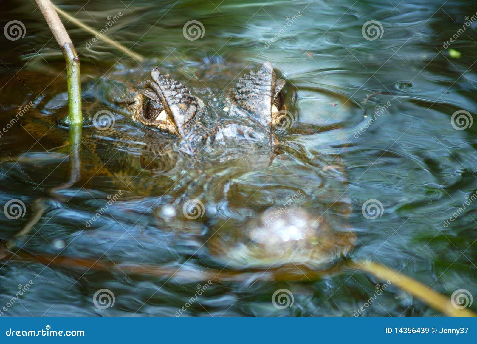 Cocodrilo que espera - río del Amazonas