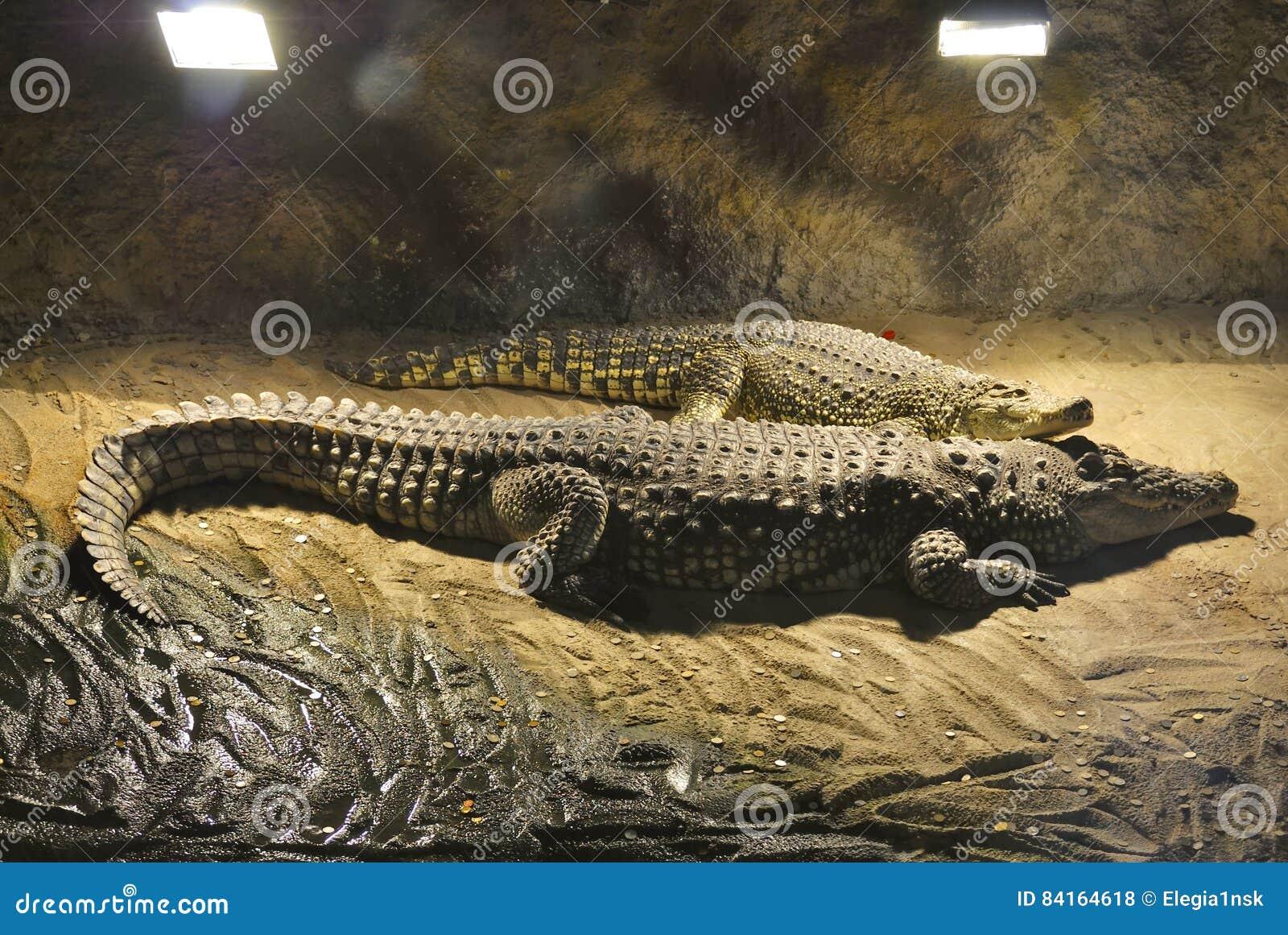 Cocodrilos del Nilo, o niloticus del Crocodylus