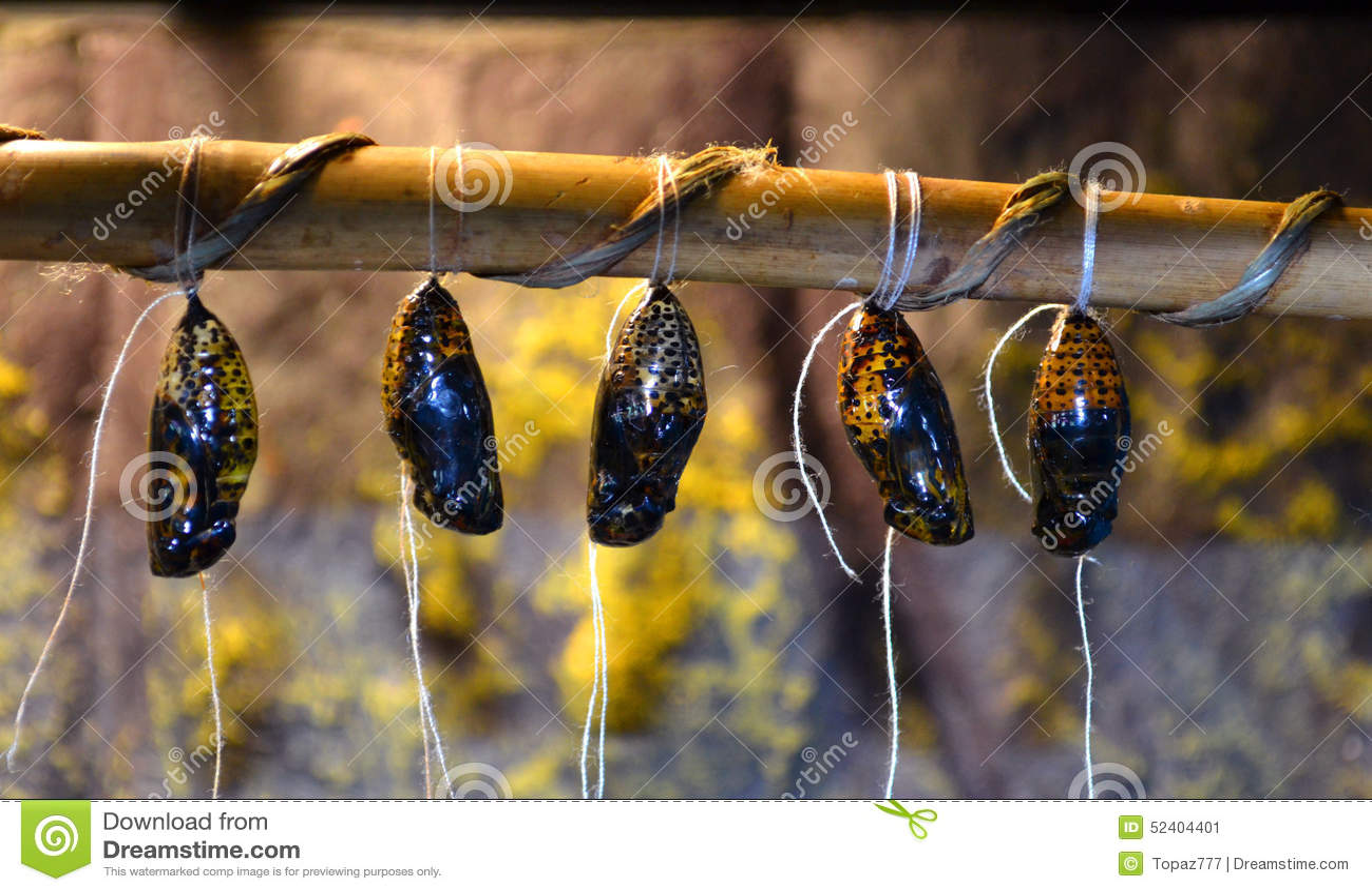 cocon de papillon image stock image du larve antenne. Black Bedroom Furniture Sets. Home Design Ideas