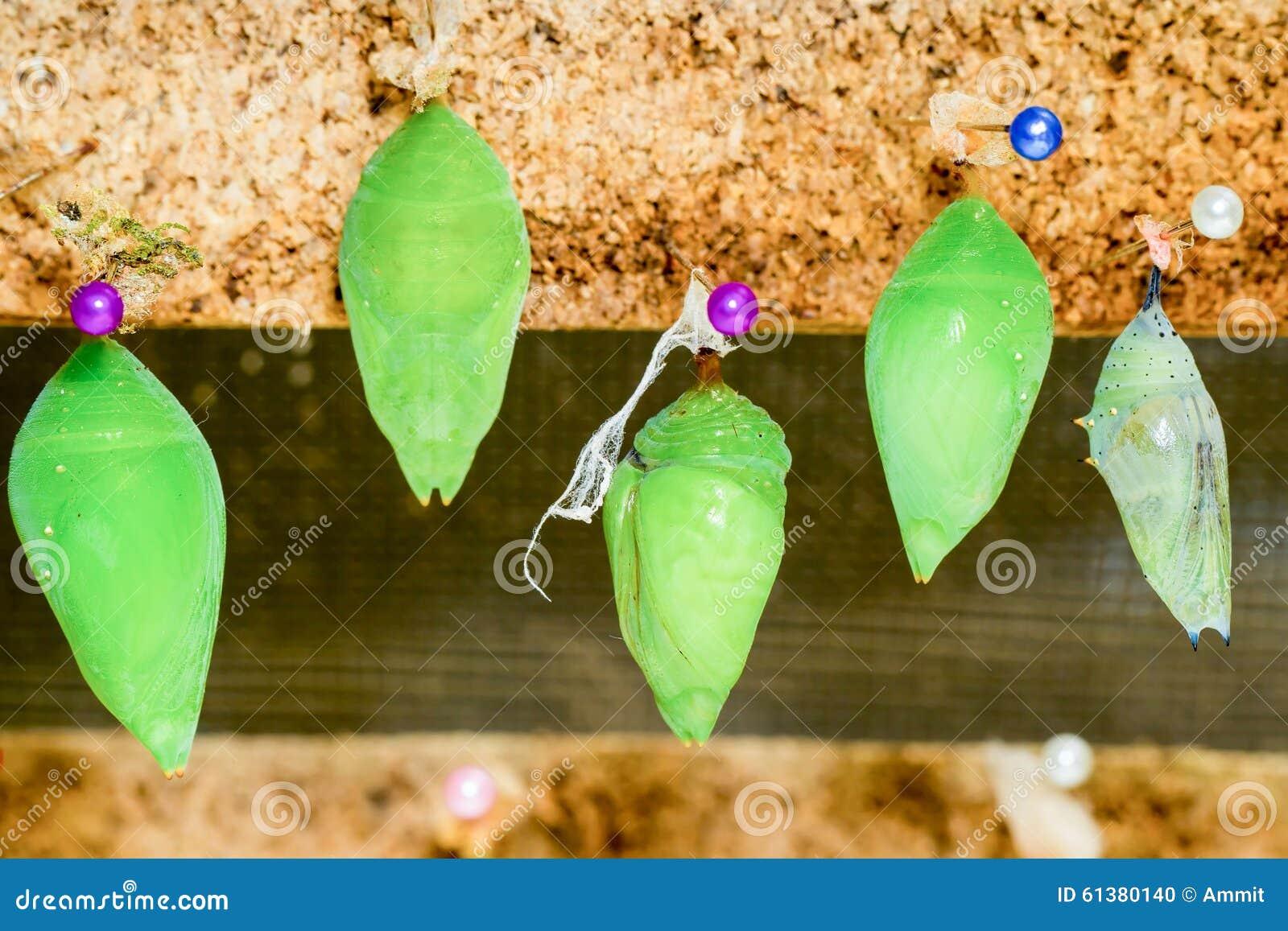 cocon de papillon de monarque photo stock image 61380140. Black Bedroom Furniture Sets. Home Design Ideas
