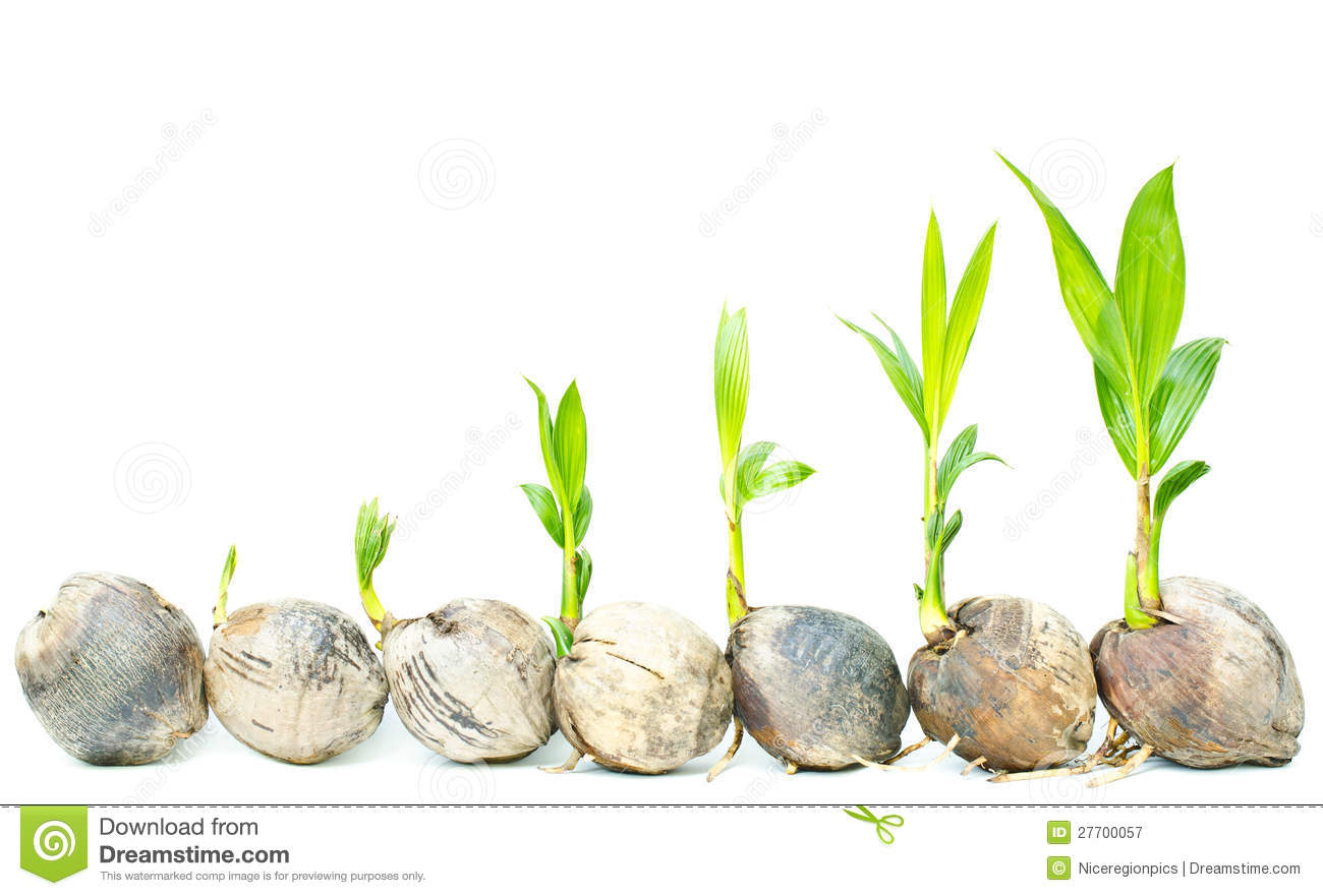 Coconut palm seedlings. stock image. Image of nobody ...