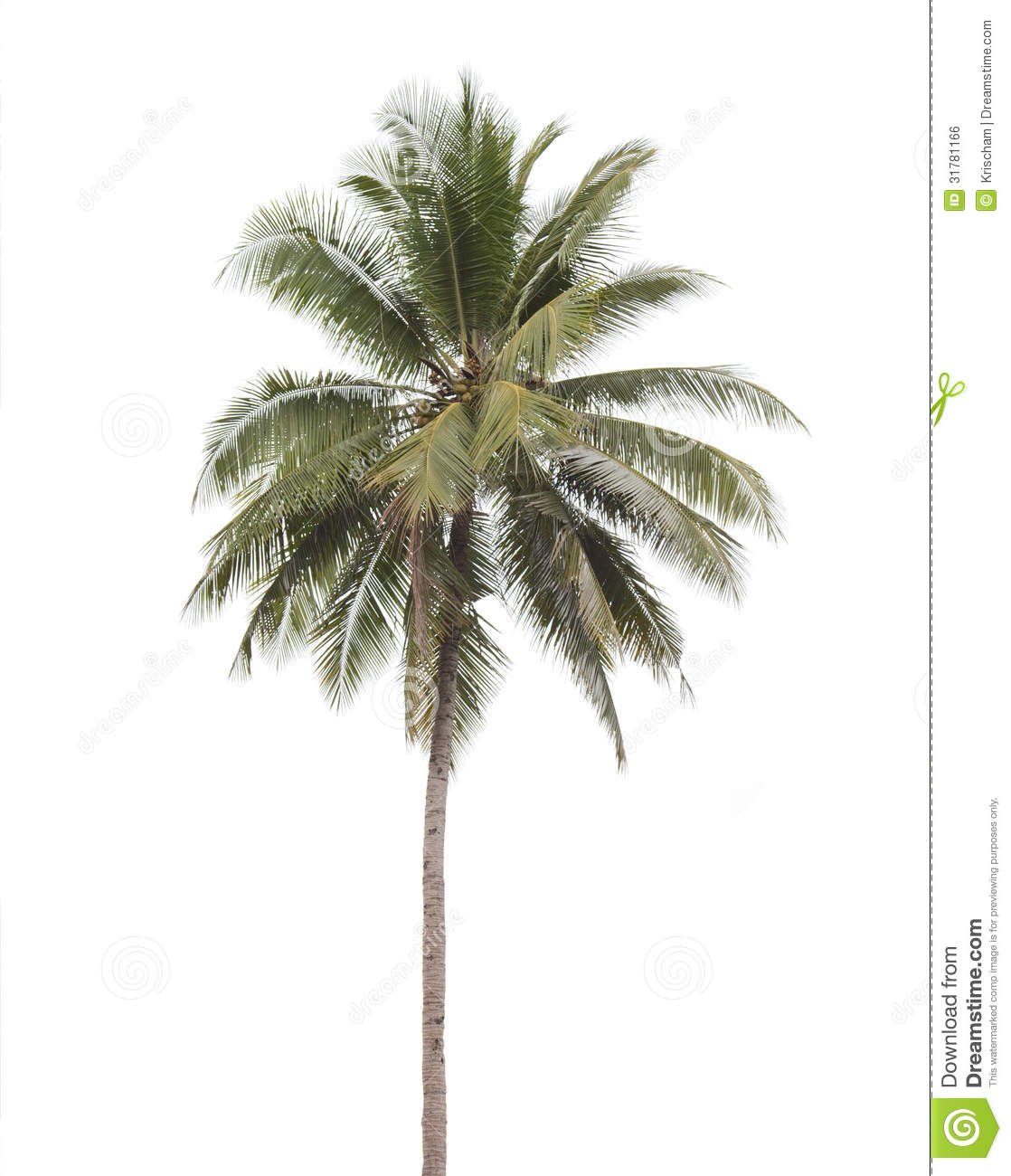 https://thumbs.dreamstime.com/z/coconut-palm-tree-isolated-white-background-31781166.jpg