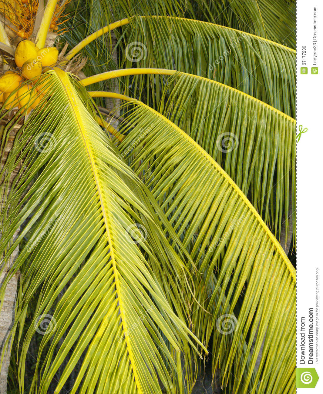 Coconut Palm Tree Branches Royalty Free Stock Image ...