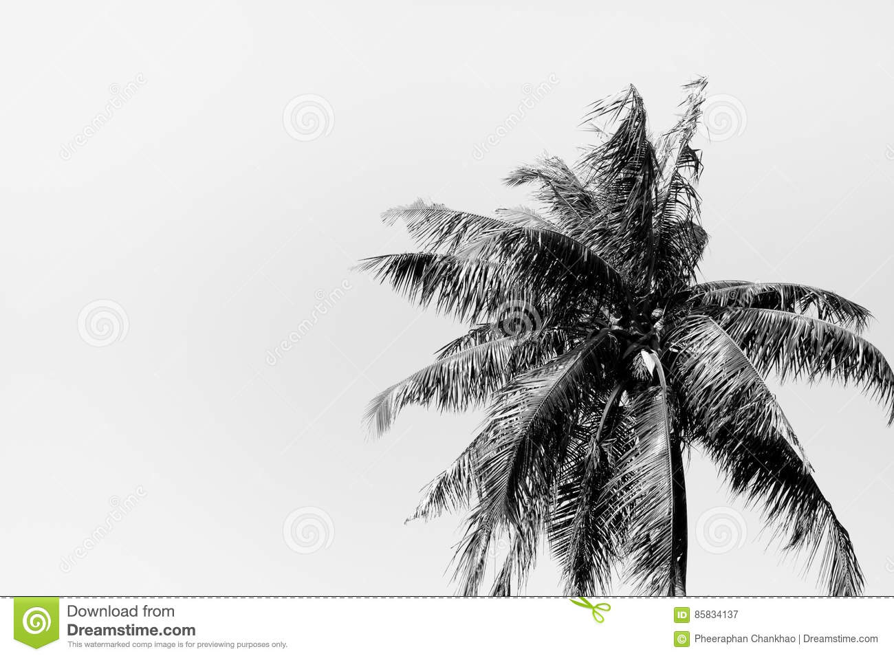 Coconut Tree In Black And White Background Stock Image
