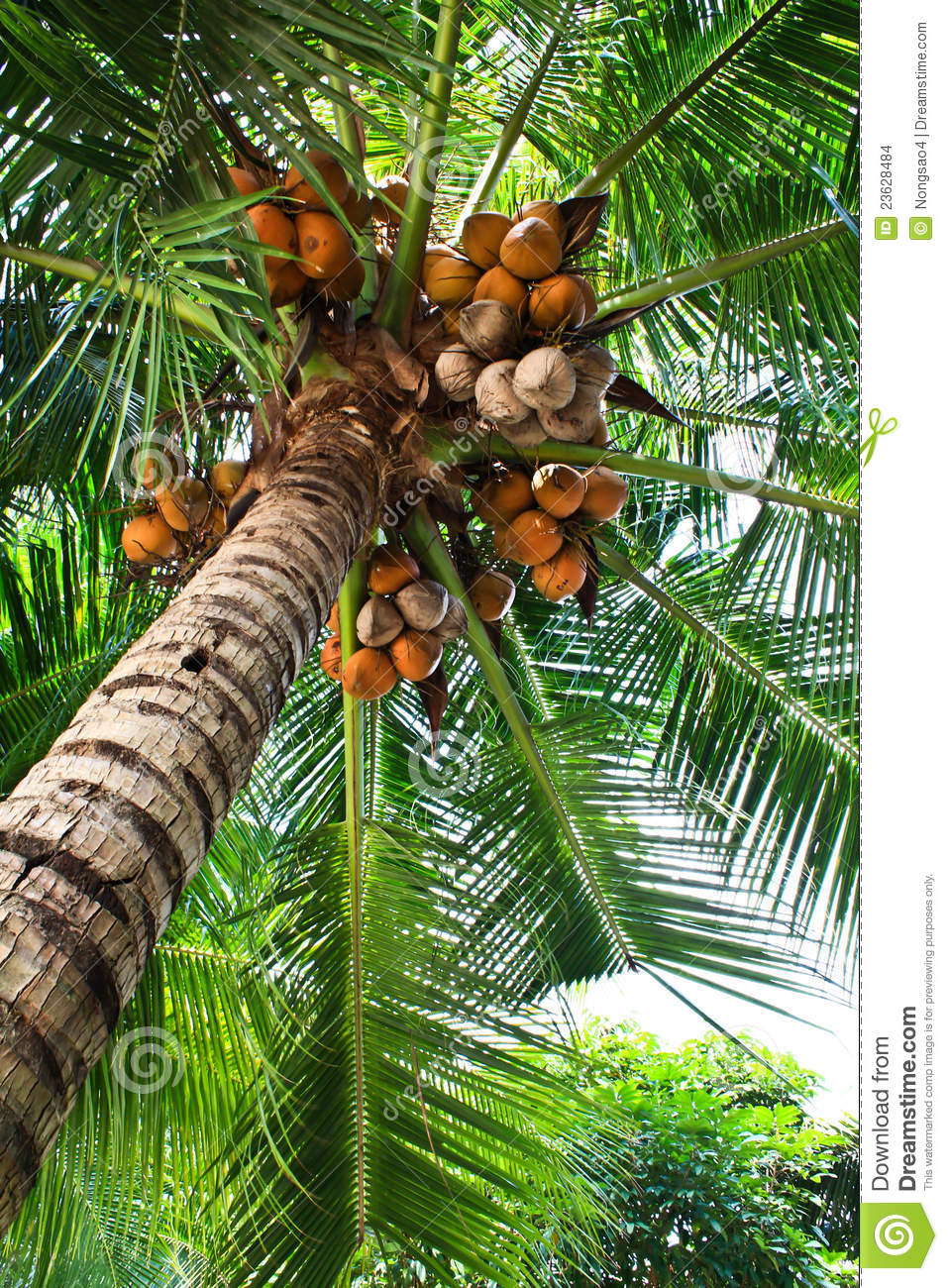 The Coconut Tree And Fruit Stock Images Image 23628484