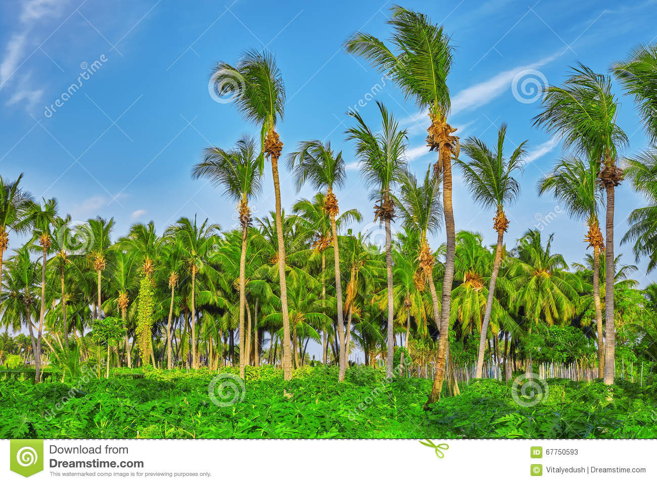 Coconut Tree With Fruits-coconuts,on A Tropical Island In