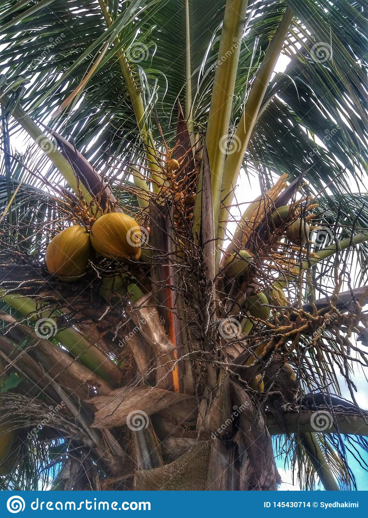 Coconut Tree with a leaf and cloudy background
