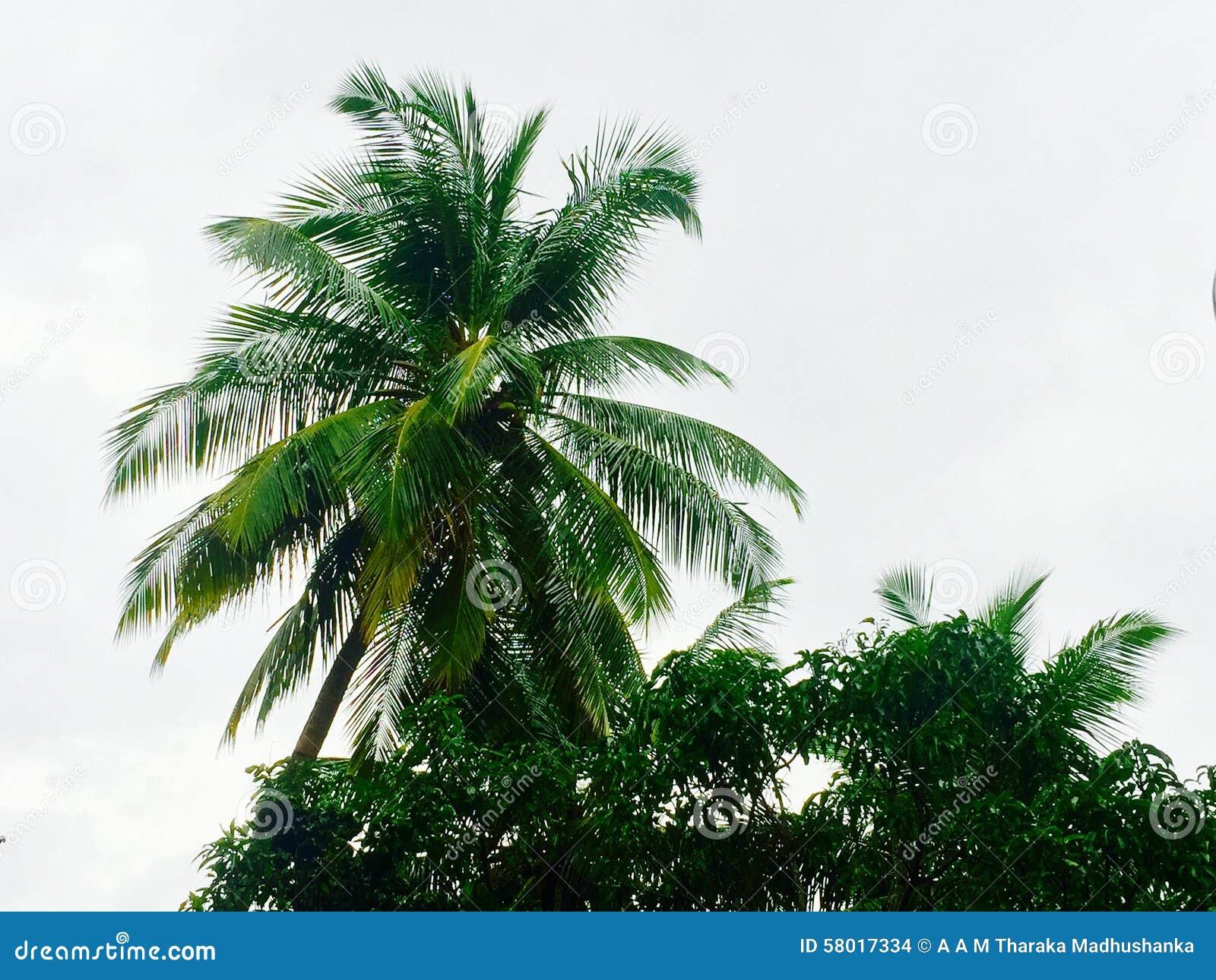 Kurunegala Sri Lanka  city photo : Coconut Tree Stock Photo Image: 58017334