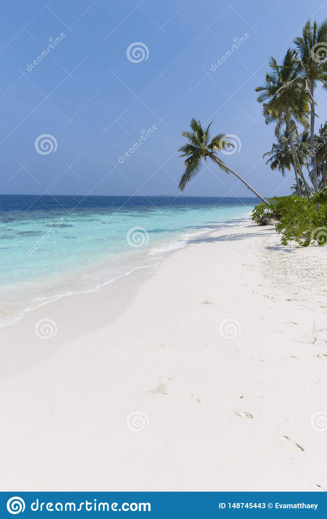 Coconut tree on a white sandy beach and crystal clear water in the Maldives