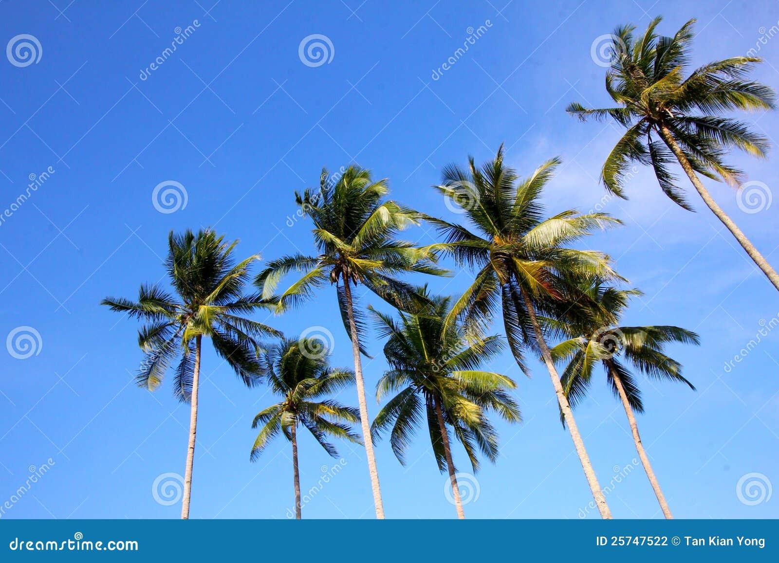 Coconut trees on blue skies