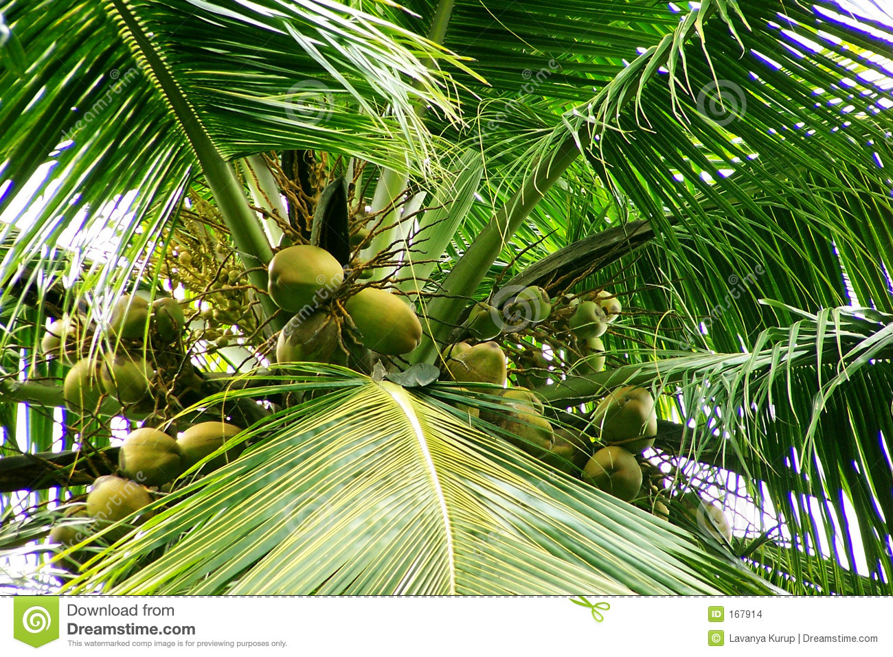 Coconuts- flowers and young fruits
