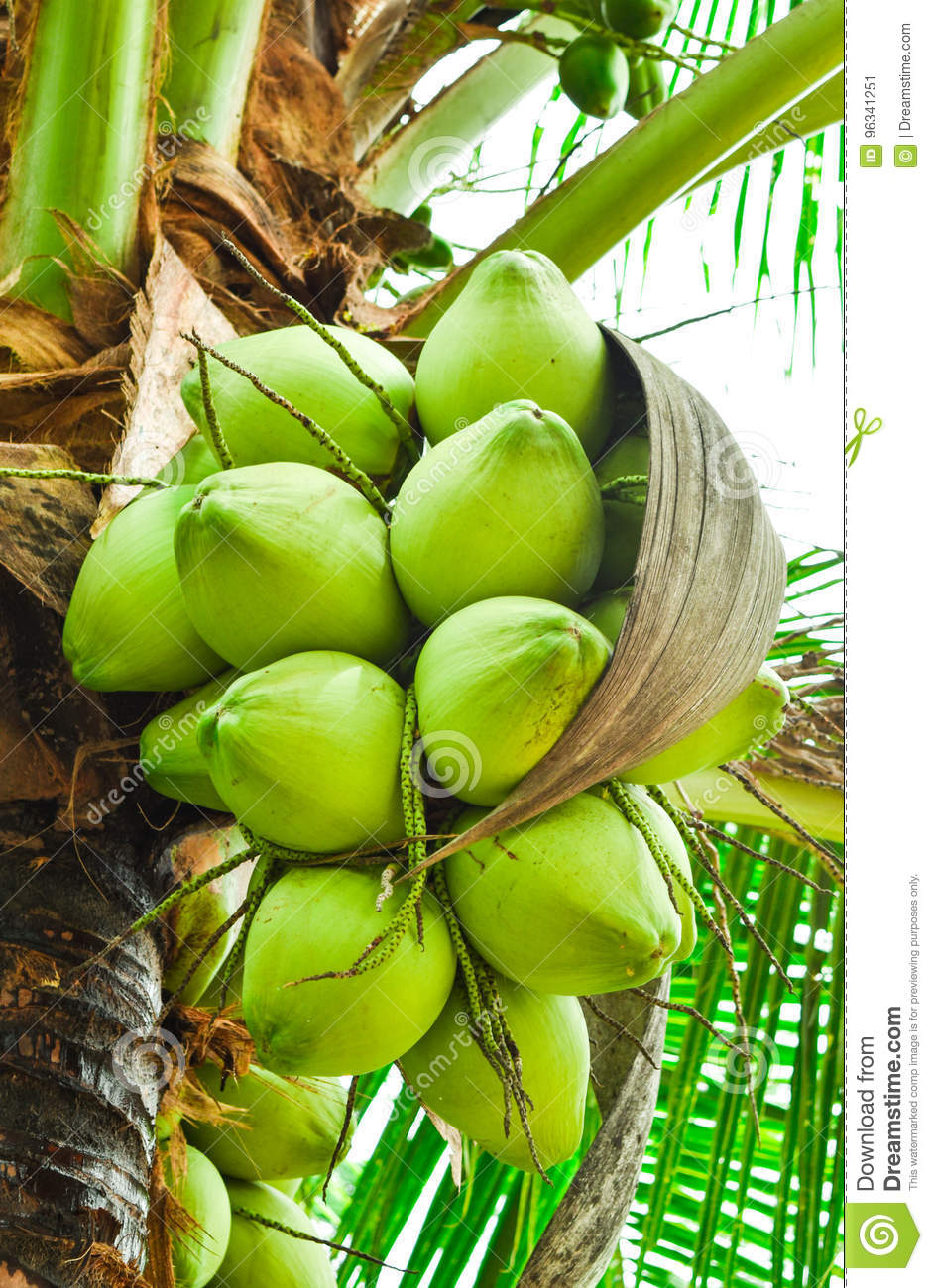 coconuts stock image image of good healthy fruit