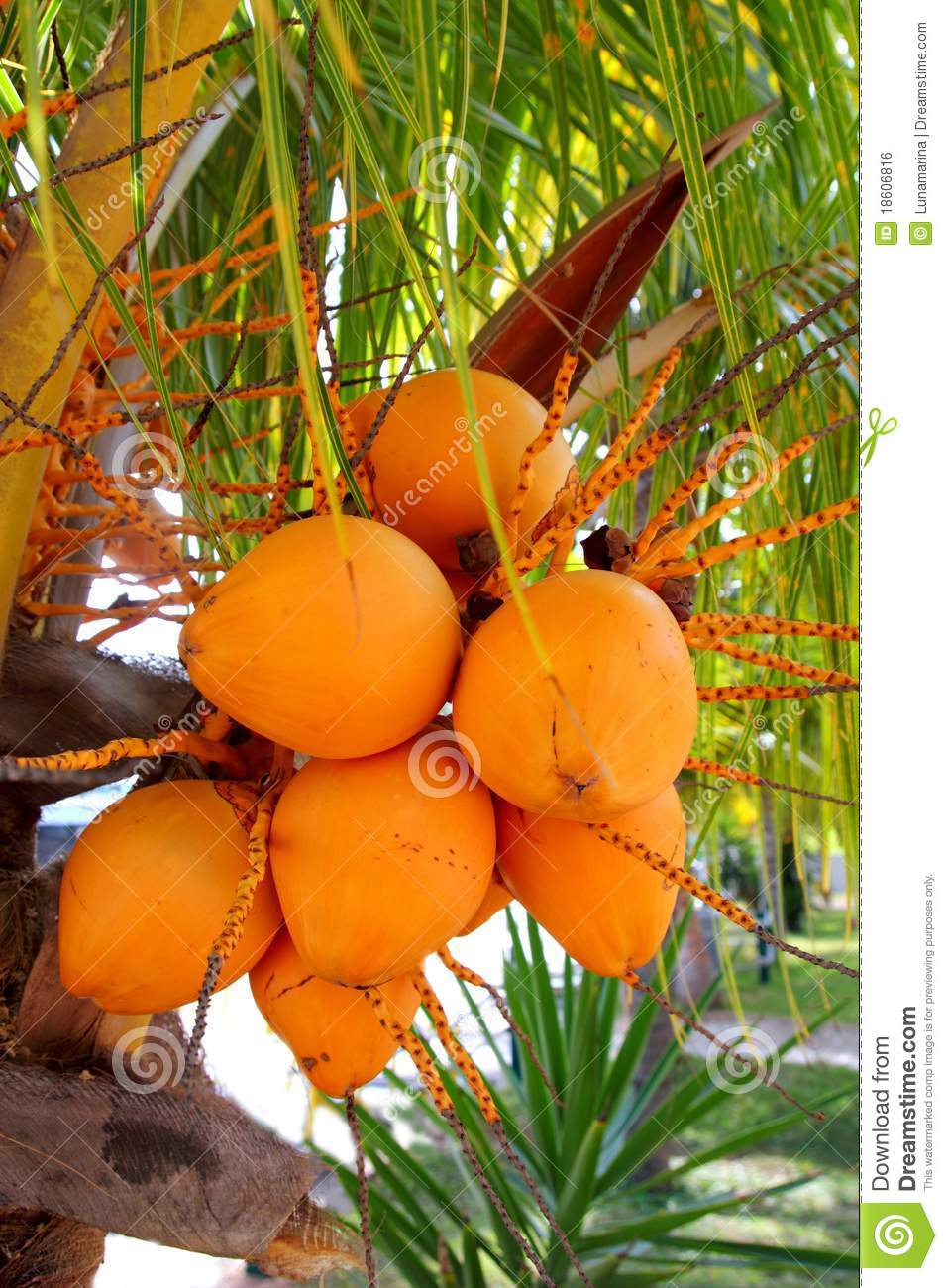 Coconuts in palm tree ripe yellow fruit royalty free stock image