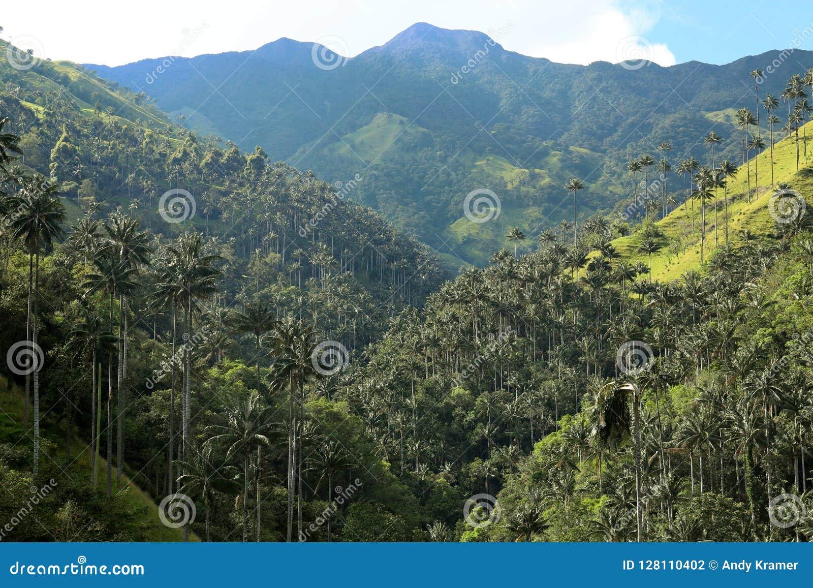 Cocora dal som ett förtrollande landskap som över stås högt av det berömda jätte- vaxet, gömma i handflatan Salento Colombia