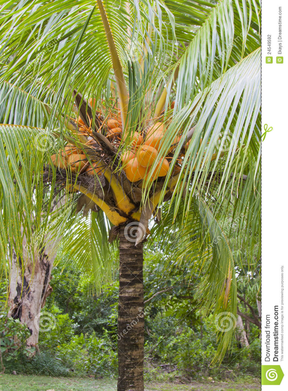 cocos nucifera 39 coconut tree dwarf stock photography image 24549592. Black Bedroom Furniture Sets. Home Design Ideas
