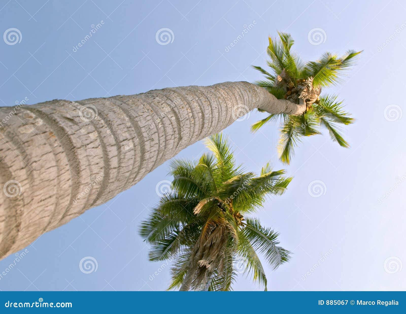Cocos nucifera kokosowe palmy